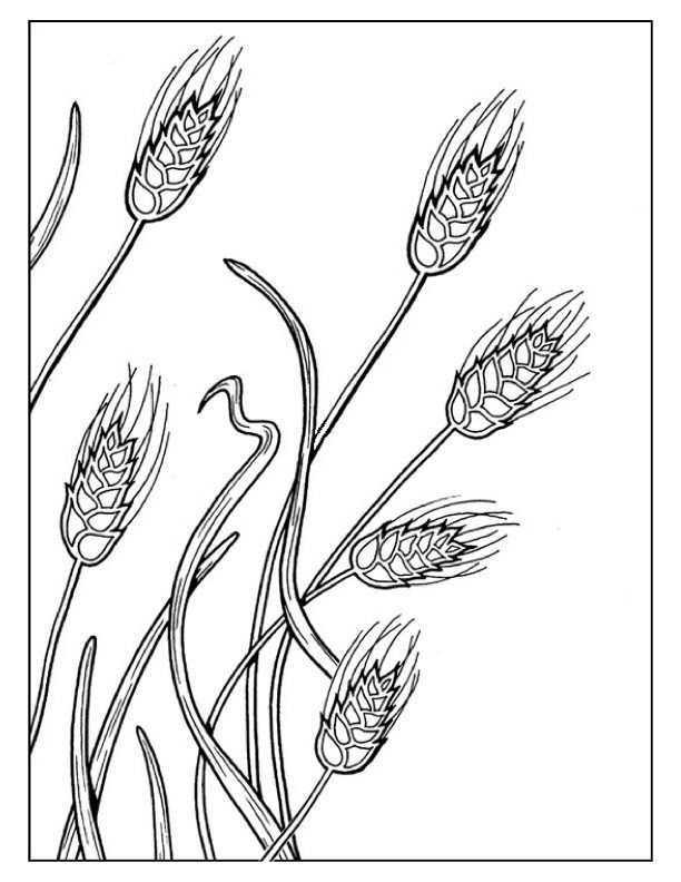 Wheat Coloring Pages Untitled Document Everythingpreschool Com