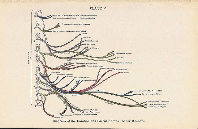 Diagram of the LUMBAR and Sacral Nerves Back Muscle Anatomy 1927 ...
