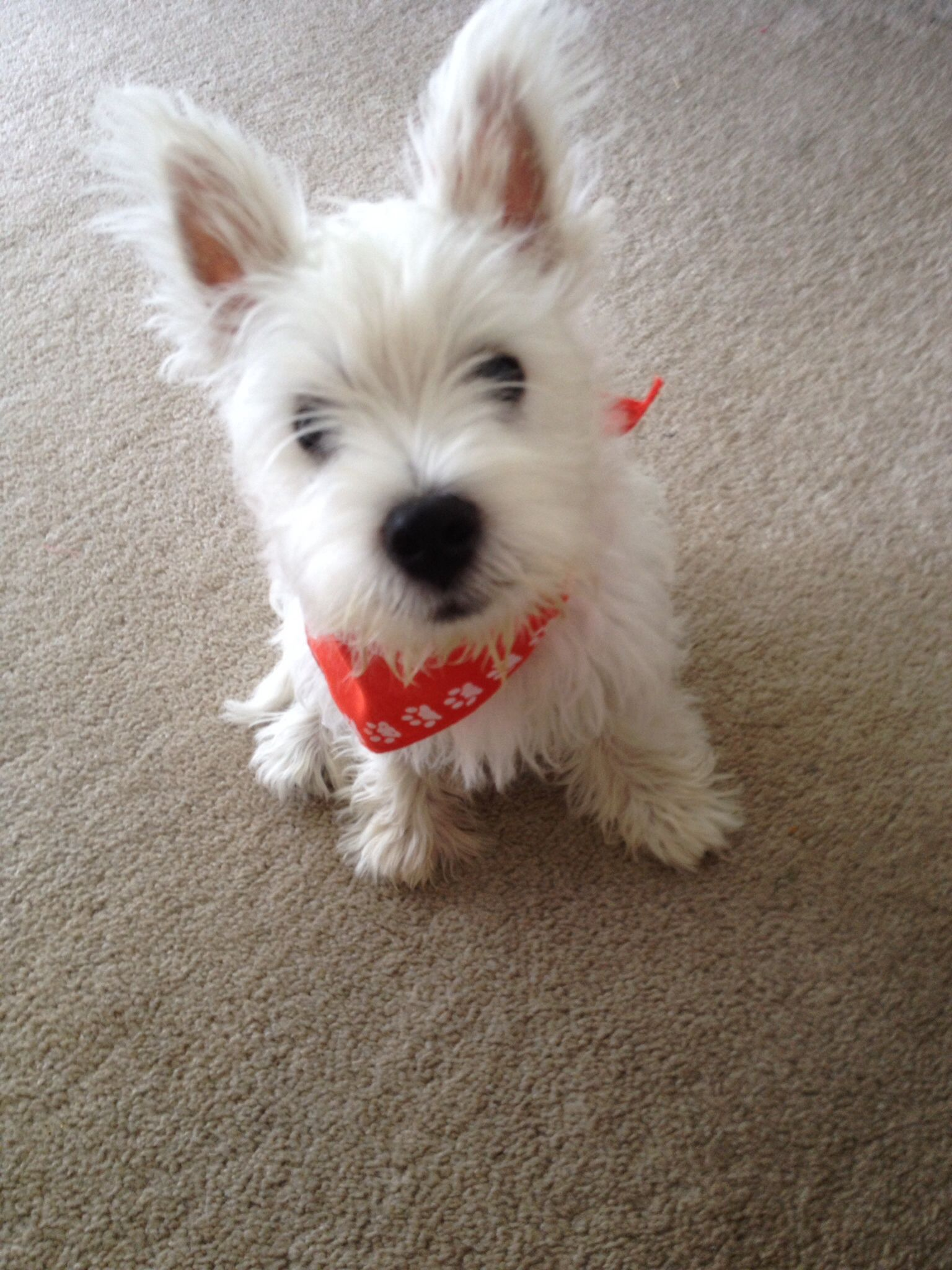 "Westie ""teenage"" puppies have such funny big ears! Why I"