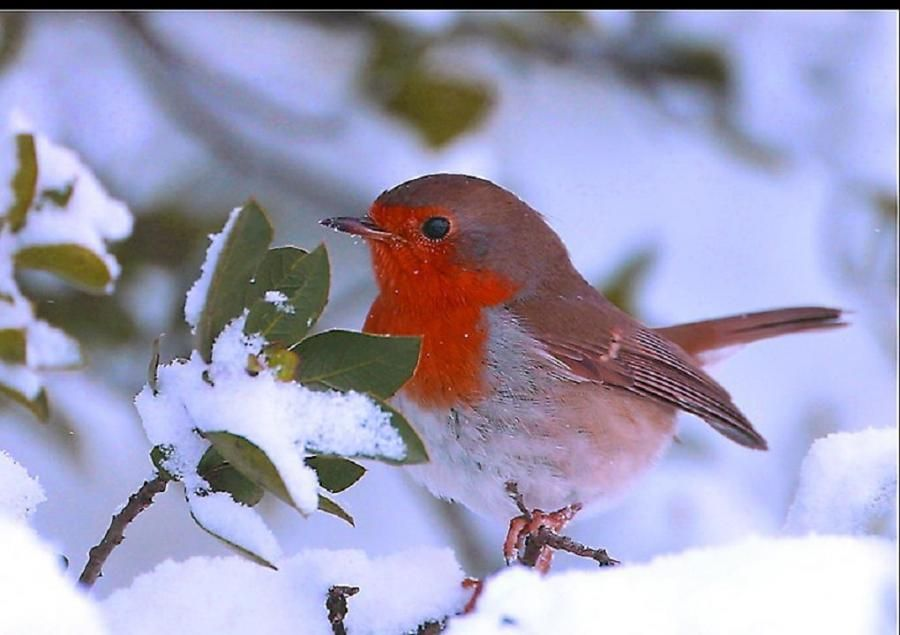 First snow.....love robins..