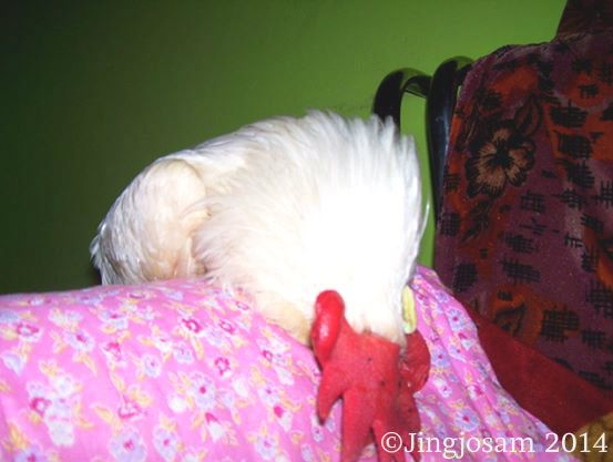 My Picture of the Day: The Sleeping Rooster