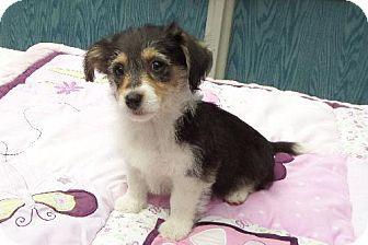 Ocala Fl Corgi Bichon Frise Mix Meet Desiree A Puppy For Adoption Http Www Adoptapet Com Pet 12136306 Ocala Fl Corgi Mix Puppy Adoption Kitten Adoption