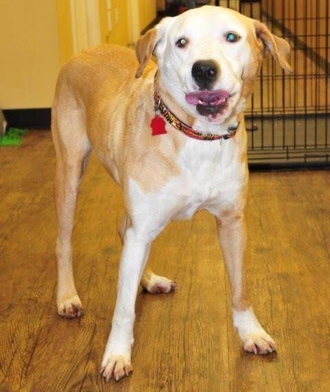 Adopt Rex On Petfinder Labrador Retriever Dog Labrador