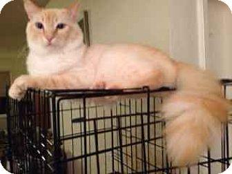 05/13/16 SL~~~ Siamese Cat for adoption in Alamo, California - Leo
