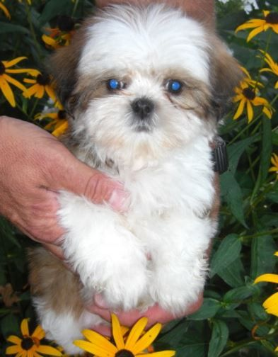 Litter Of 4 Shih Tzu Puppies For Sale In Minneapolis Mn Adn