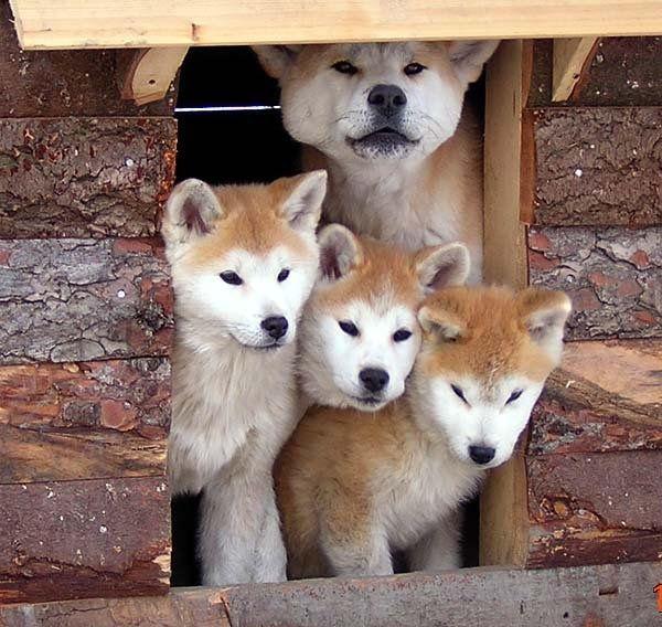 Akita Inu Akita Dog Japanese Dogs Dogs