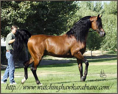 A beautiful Arabian