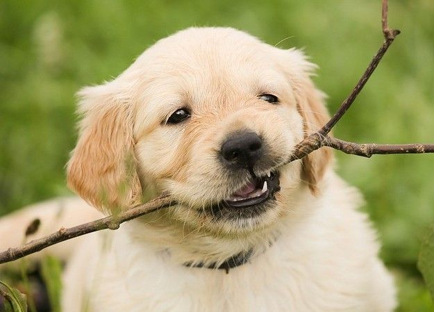 Living With A Golden Retriever 10 Things To Consider First Time