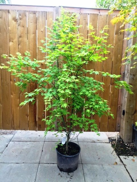 Acer Palmatum Orange Dream Online. Acers To Buy UK Nursery. | Garden ...
