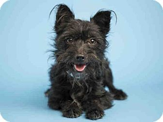 Pictures Of Bridgette A Scottie Scottish Terrier Mix For Adoption