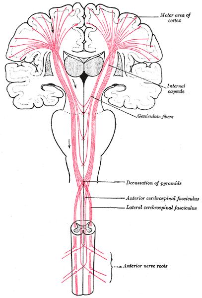 Tracto corticoespinal, del tracto piramidal, de neurona motora ...