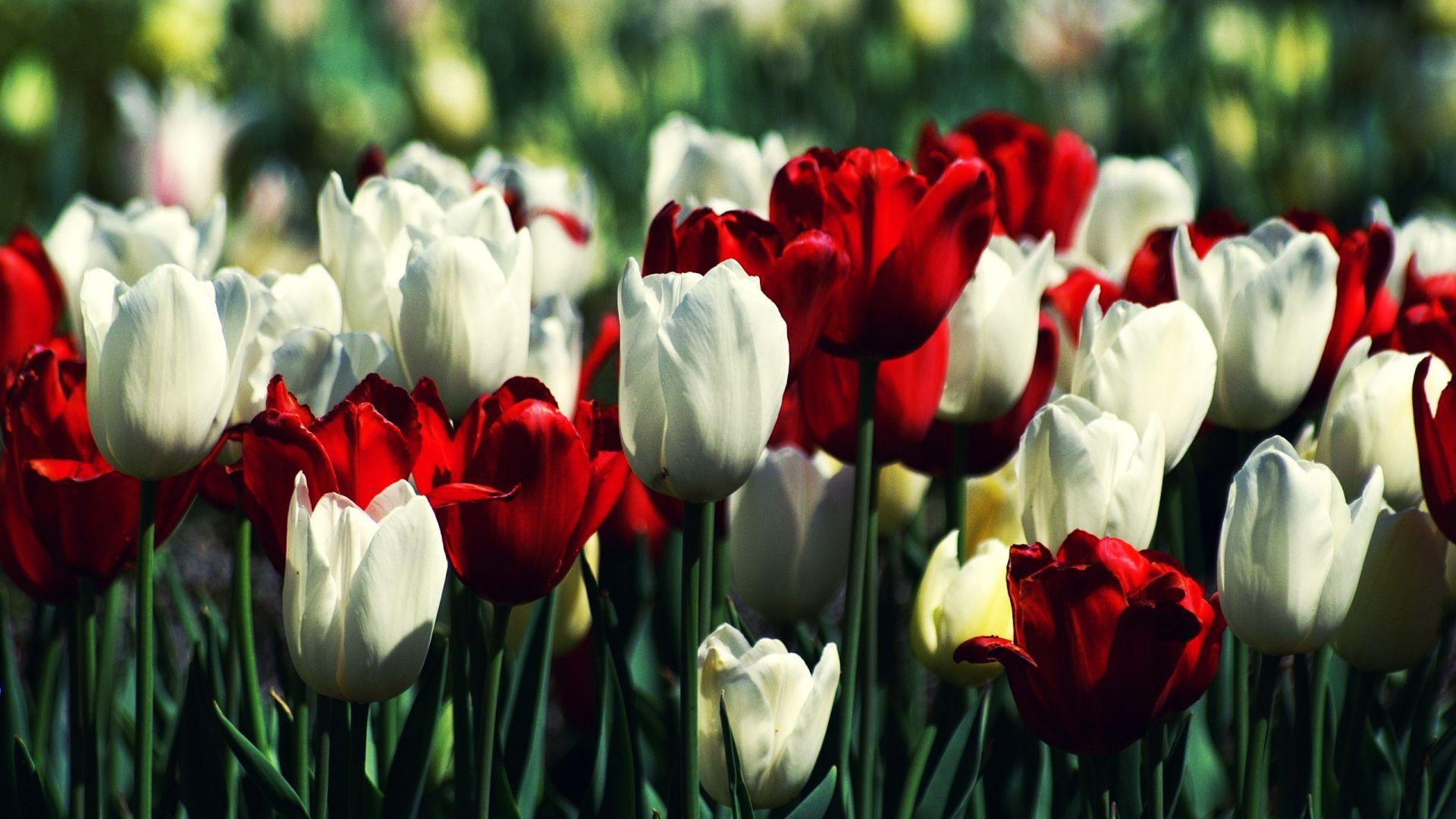 Hd Wallpapers 1080p Tulips Tulips Garden Spring Tulips Flowers