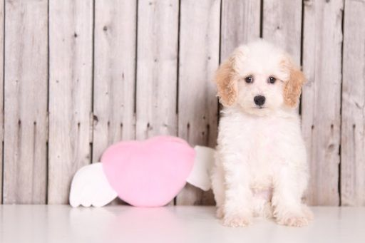 Cavapoo puppy for sale in MOUNT VERNON, OH  ADN-33396 on