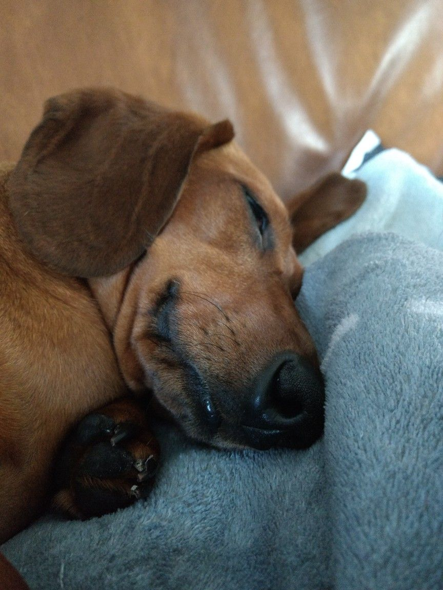 Teckeltje Teun Slapen Is Mijn Grote Hobby Dachshund Puppy Miniature Dog Lovers Dachshund Pictures