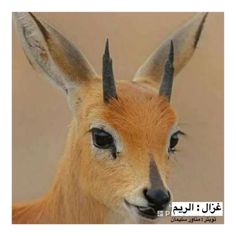 مناور سليمان On Twitter Animals Kangaroo Goats