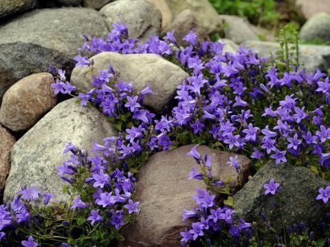 Steingarten mit blühenden Glockenblumen (Campanola spec) Im - innovative matratze fur doppelbett erlaubt eine bewegungsfreiheit