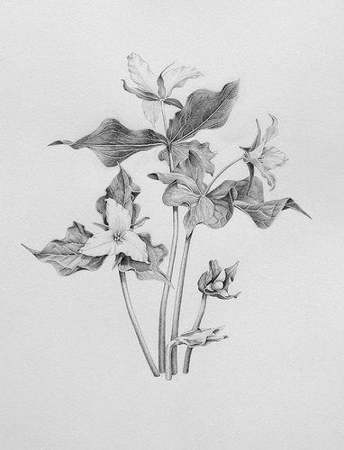 Trillium Ovatum Better Version Flower Line Drawings Botanical Illustration Flower Sketches
