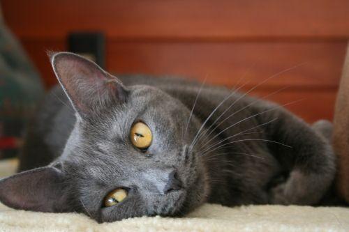 smokey grey cat breed