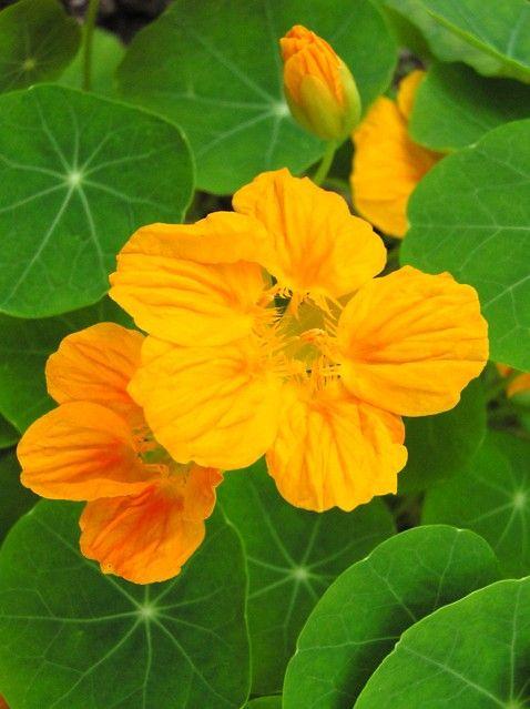 Nasturtium ナスタチウム、キンレンカ、金蓮花