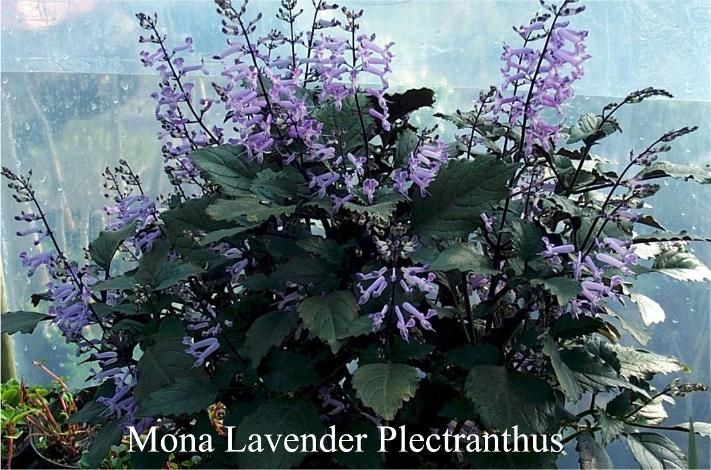 mona lavender plectranthus plectranthus hillardiae p. Black Bedroom Furniture Sets. Home Design Ideas