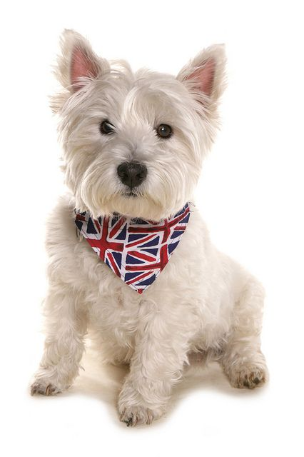 White West Highland Terrier With Union Jack Bandana West