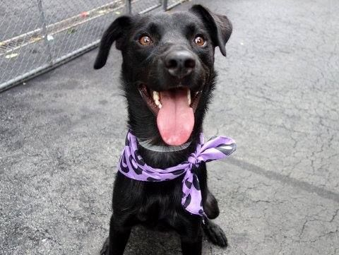 TO BE DESTROYED 9/10/14 Manhattan Center -P My name is MARLON. My Animal ID # is A1013186. I am a male black labrador retr mix. The shelter thinks I am about 1 YEAR I came in the shelter as a STRAY on 09/06/2014