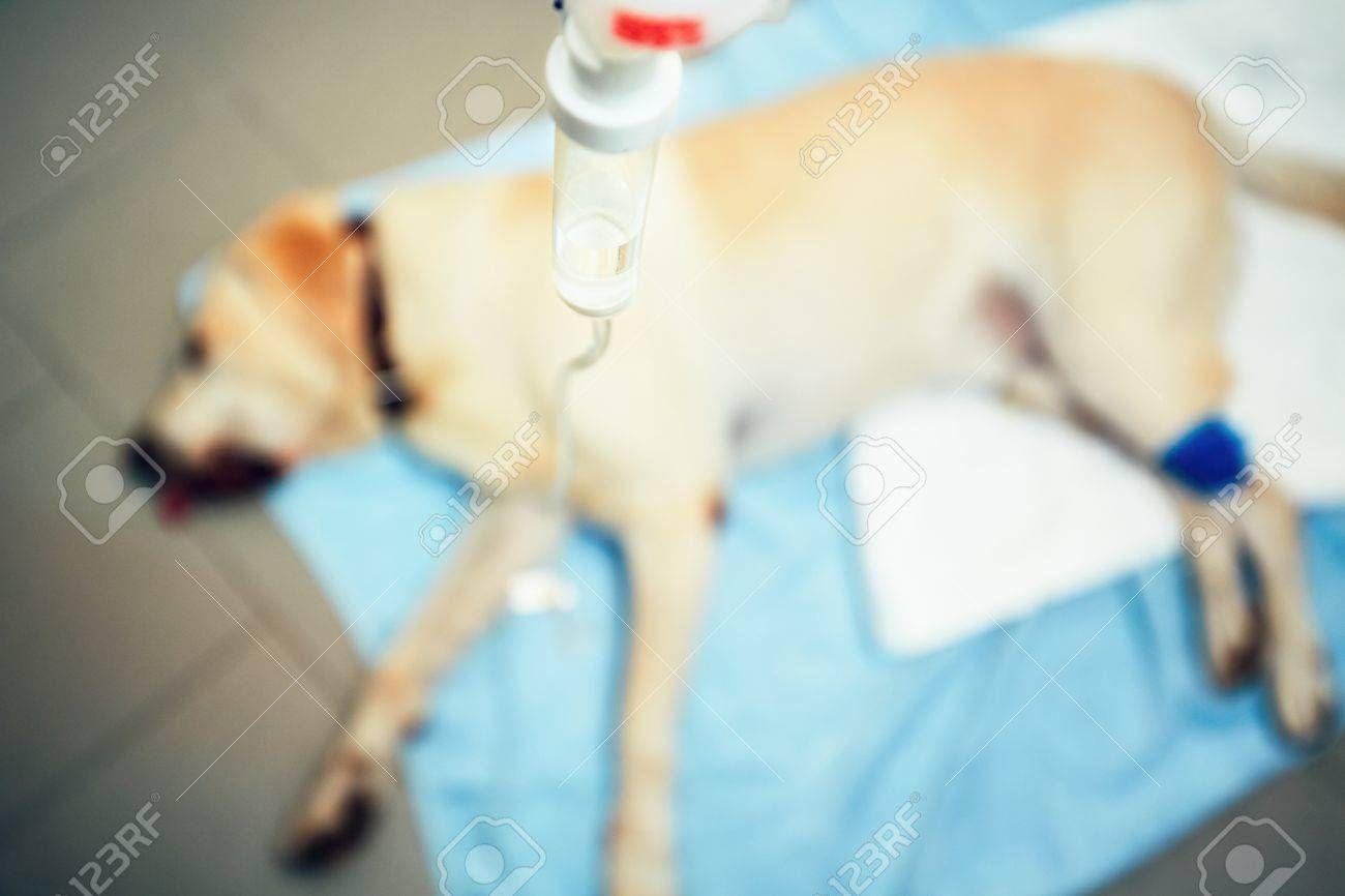 Labrador Retriever In Veterinary Clinic Old Ill Dog With Infusion Spon Veterinary Retriever Labrador Clinic Infusion In 2020 Sick Dog Pet Emergency Dogs