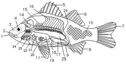 Pics For > Perch Dissection Diagram Teaching biology