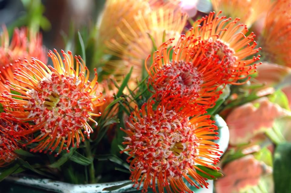 National Flower of South Africa. Protea flower, Flowers