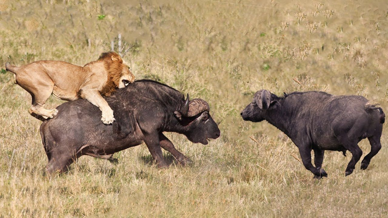 Buffalo Try To Save Fellow From Lion But Fail | Lion Hunting