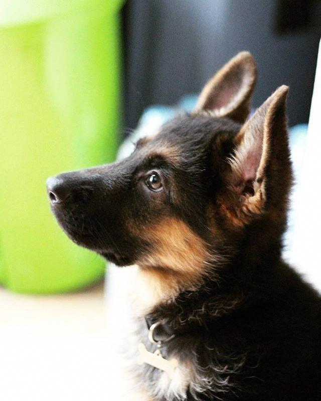 Pin By Edie On Puppy Love 2020 Shepherd Puppies German