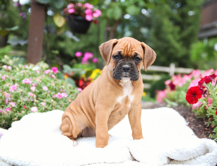 Boxer Puppies For Sale In 2020 Boxer Puppies For Sale Boxer