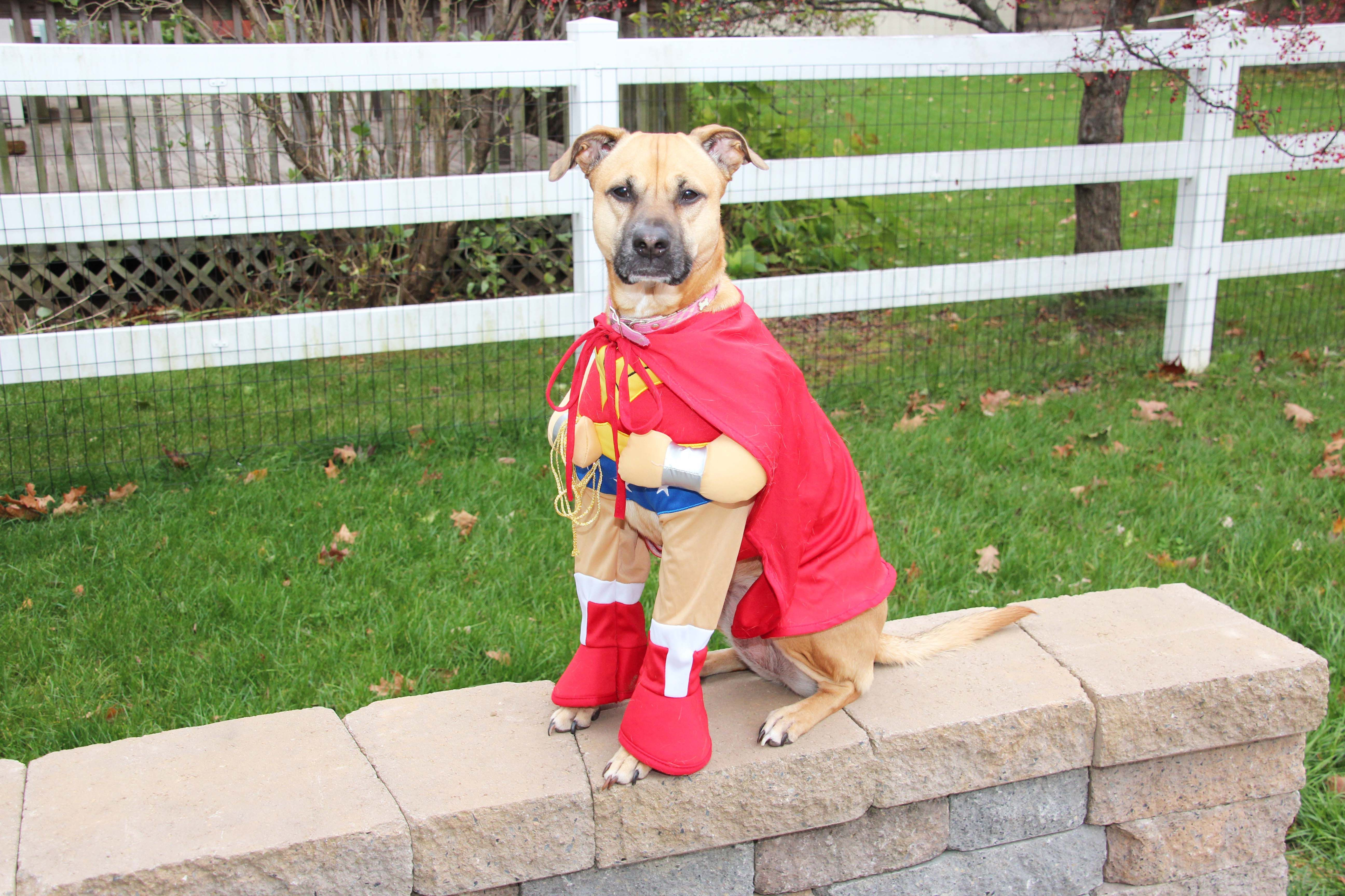 Pet in costume - pet photography by Katherine Knorp Photography