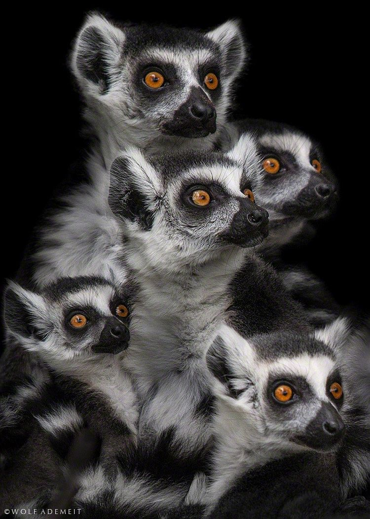 """""""Gimme some"""" - The ring-tailed lemur (Lemur catta) by Wolf Ademeit*"""