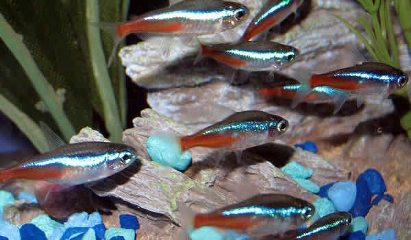 What Fish Can Live With Bettas The Tank Mate Guide Neon Tetra Betta Fish Tank Mates Pet Fish