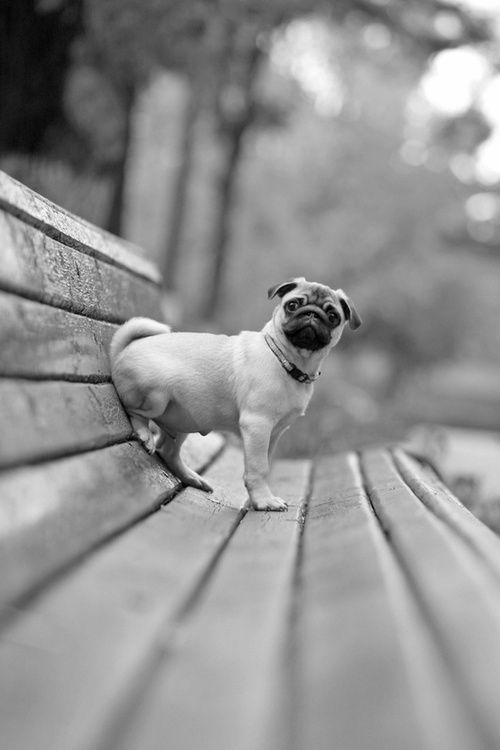 Mr. Pug is waiting for the ice cream man