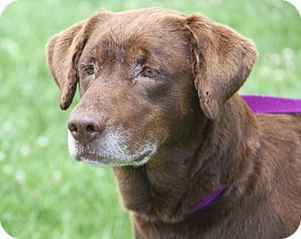 Adopted Marietta Oh Labrador Retriever Mix Meet Murphy