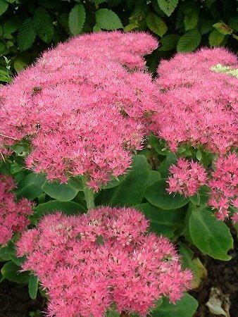 sedum spectabile carmen - 50 x 40 cm floraison : (fructification