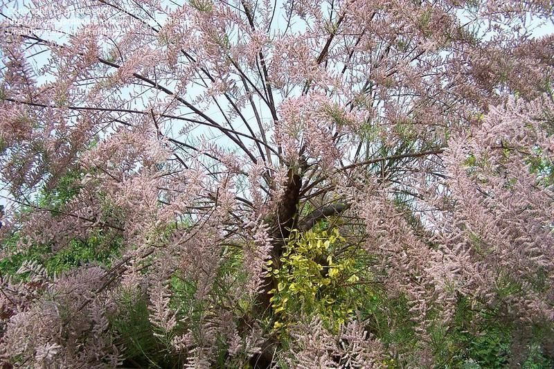 Flowering Tree Identification Plant Identification Desiree101 Picture Closed Pink Feathery Tree Tree Plant Identification Plants