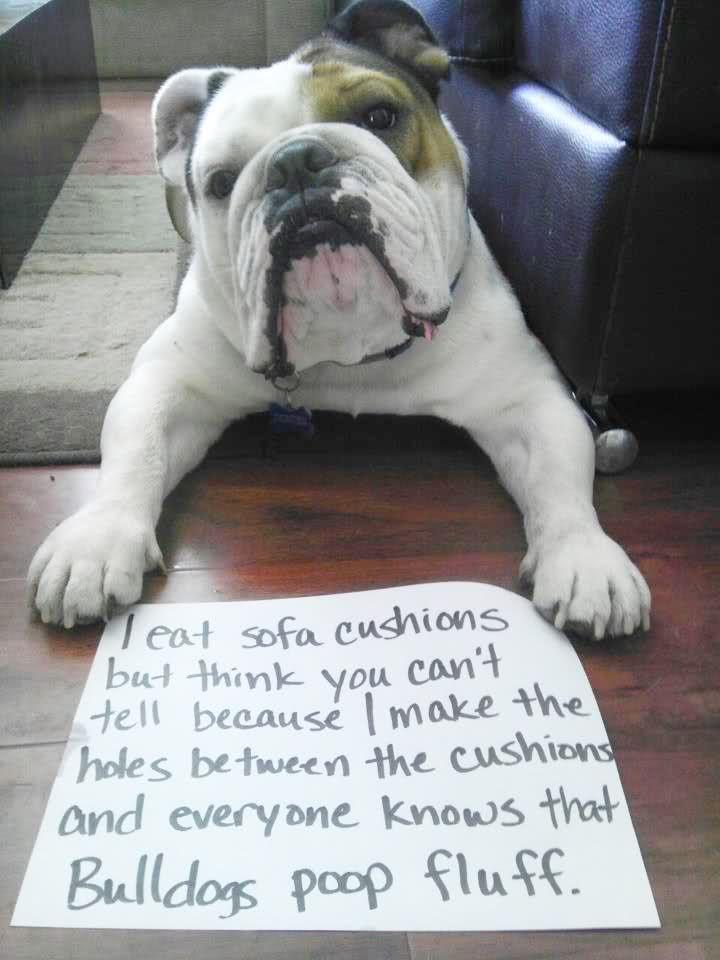 Tumblr Mblexkx5fw1r7ua7so1 500 Bulldog Funny Bulldog