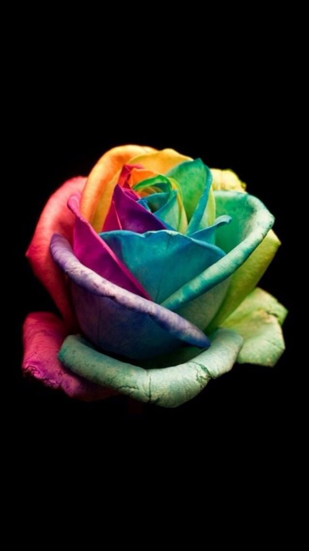 Rainbow Rose With Images Rainbow Wallpaper Colorful Wallpaper