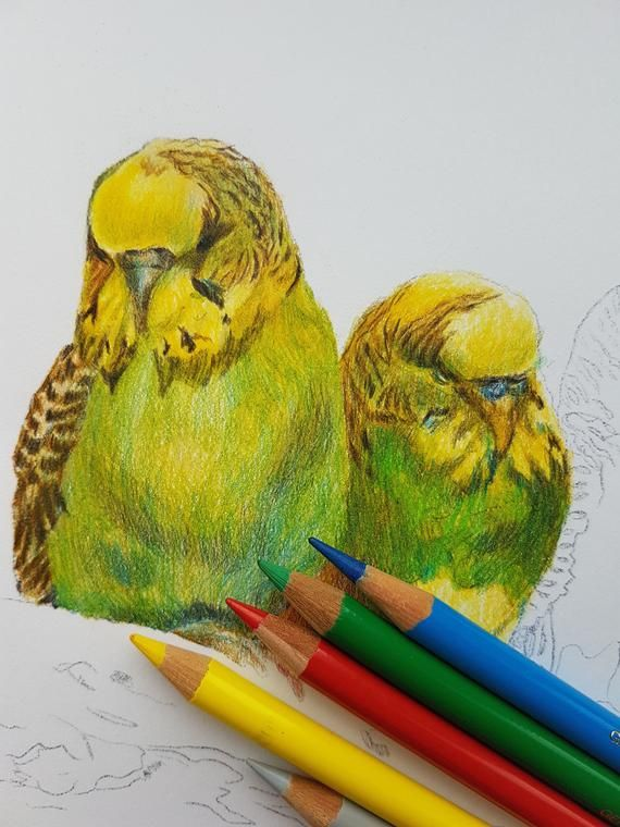 Parrot painting CUSTOM pet portrait colored pencil drawing from photo bird budgie budgerigar parakeet hand drawn