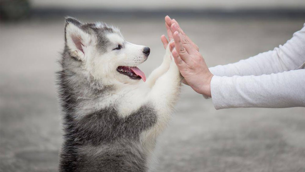 Husky Puppies Playing With Their Mom In Backyard For First Time