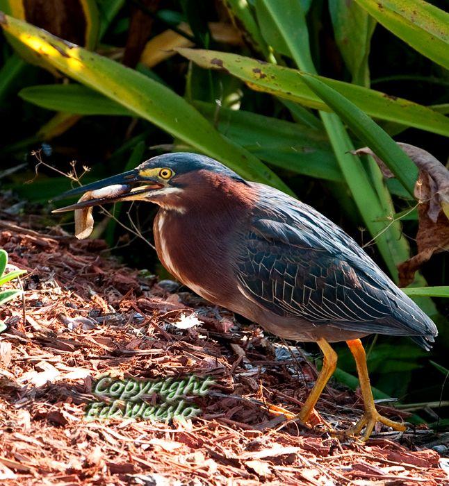 A Green Heron catches a big tadpole.