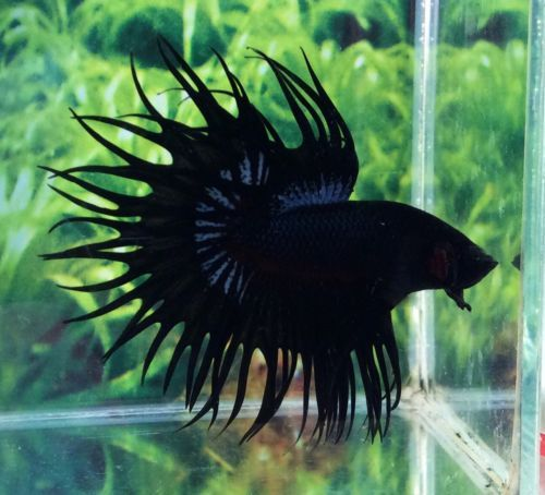 C48 Thai Import Black Orchid King Crowntail Ct Male Betta