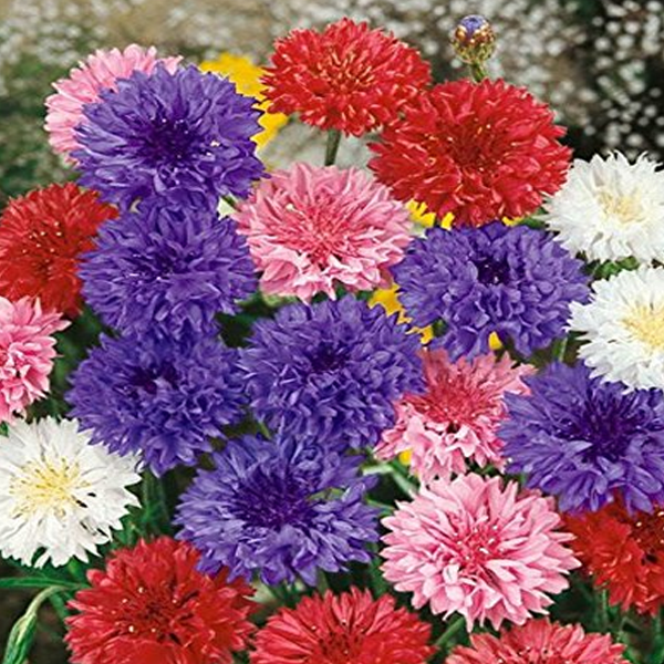 Mixed Color Centaurea Cyanus Flower Seeds Flower Seeds Bachelor Button Flowers Grow Flower Seeds