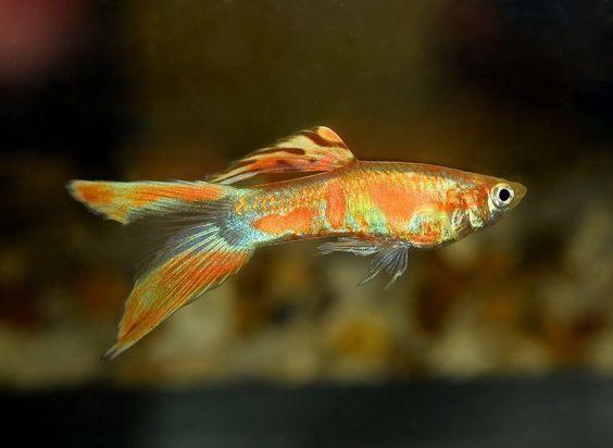 Akvariumnye Rybki Guppi Endlera Luchshie Foto Guppy Guppy Fish Oscar Fish