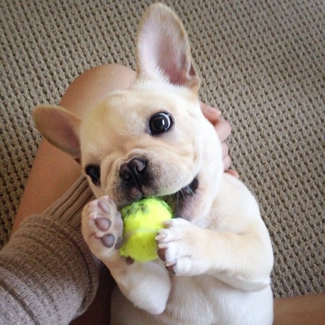 """""""Humans look REALLY Weird"""", Funny French Bulldog."""