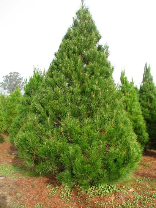 Monterey Pine Tree is a coniferous evergreen tree with upward ...