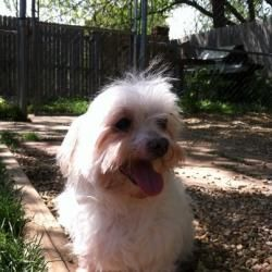 Adopt Kac Lady On Maltese Dogs Puppy Mills Dogs